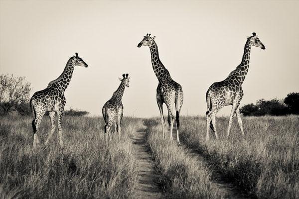 03-giraff