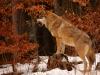 vlk-zima