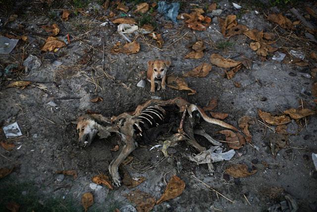 Myanmar - dead dog