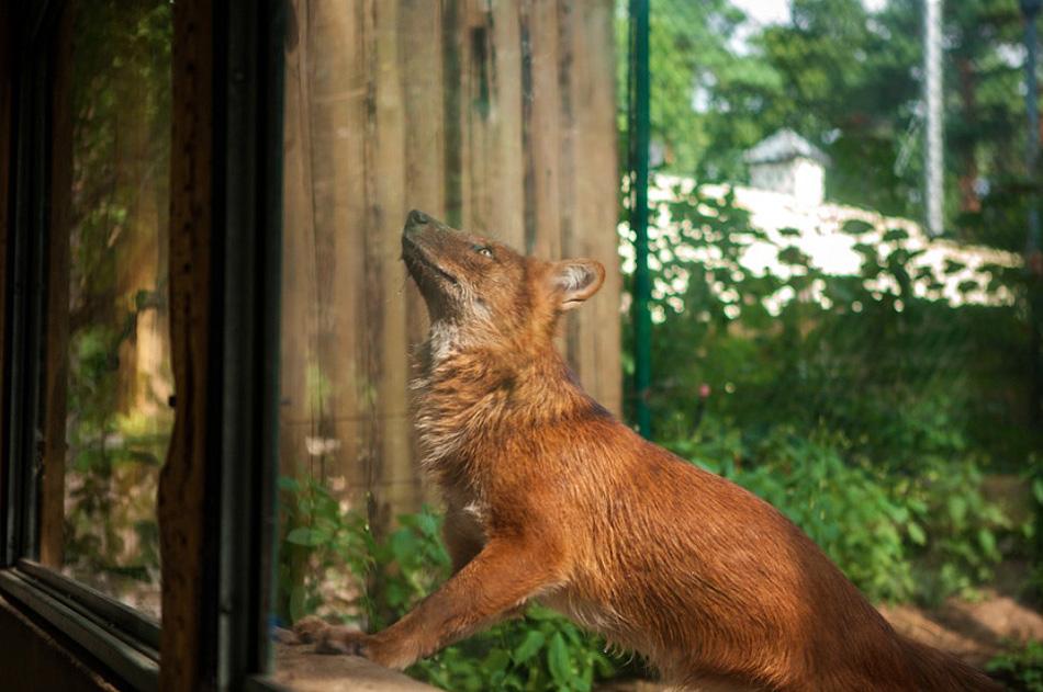 zivot zvierat v zajati ZOO líška