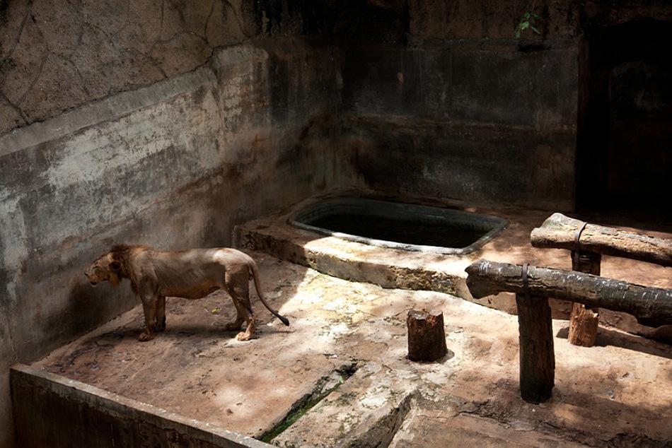 zivot zvierat v zajati ZOO lev